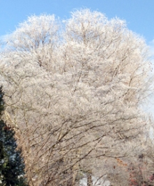 Rime ice covers the tree branches