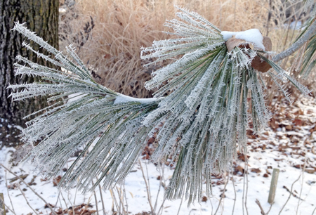 Rime ice covers pine needles