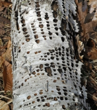 Sapsucker holes in this white birch probably led to its death.