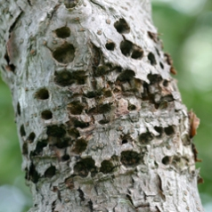 Sapsucker damage; viburnum