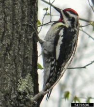 Male yellow-bellied sapsucker