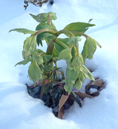 Helleborus foetidus with its green bell-shaped flowers pokes up out of the snow.