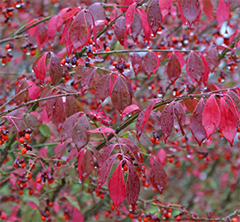 Burning bush in all its glory!