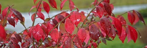 Euonymus alatus - burning bush