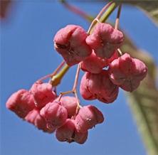 Fruit capsules of E. europaeus will split open to reveal bright red seeds
