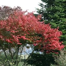Euonymus alatus pruned to tree form.
