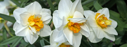 Image result for cut daffodils