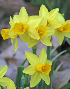 bright cheery daffodils