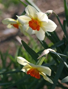 A beautiful small cup daffodil