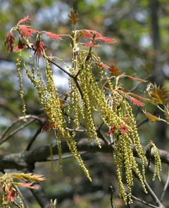 Tiny staminate flowers arranged along a central stem make up the catkin.
