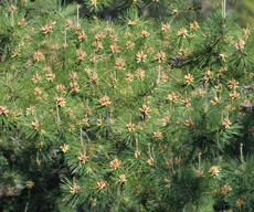 Coming up - the pine pollen!