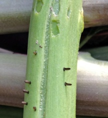 Asparagus beetle eggs stick out from the stem. Damage to the stem from feeding is also evident.