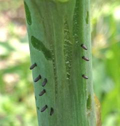 Asparagus beetle eggs and stem damage