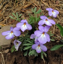 Birdfoot Violet (Viola pedata) growing on a steep bank
