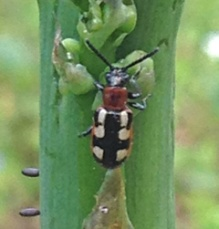 Common asparagus beetle