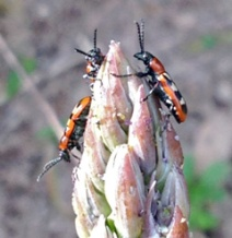 Asparagus beetles cause mostly cosmetic damage