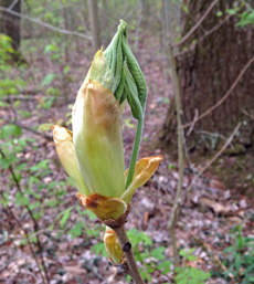 Huge bud of a hickory bursting open