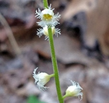 The curious flowers of Miterwort (Mitella diphylla)
