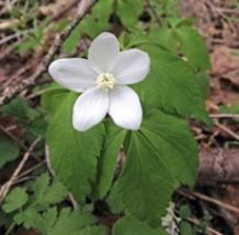Mountain Anemone (Anemone lancifolia)
