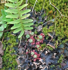 A little sedum grows on a rock amongst lichen, moss, and a Christmas Fern