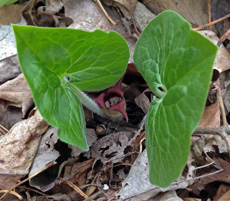 Wild Ginger (Asarum canadense) with its often unnoticed flower