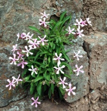 Wild Pink (Silene caroliniana) found a foothold in the rock face.