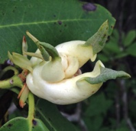Azalea gall has caused swelling and distortion of young leaf tissue of this native rhododendron