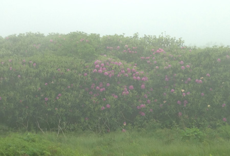 The rhododendron bald at Craggy Gardens is enveloped in a misty fog