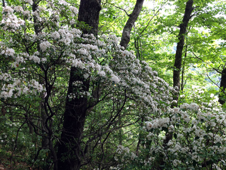 Mountain laurel in full bloom.