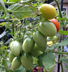 Juliet tomatoes are deliciously prolific!