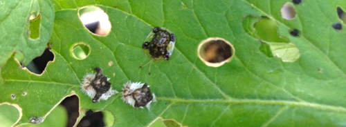 Tortoise beetle and larvae
