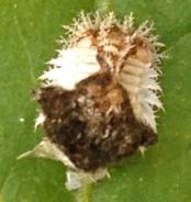 "Tortoise beetle larva with fecal mass ""shield"""