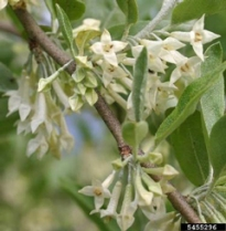 Pale yellow autumn olive flowers