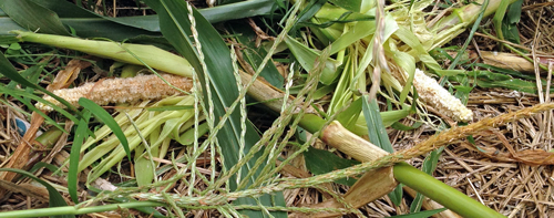 Corn crop destroyed by critters