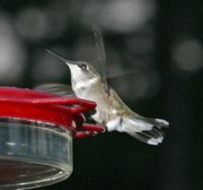 A female ruby-throated hummingbird visits our feeder