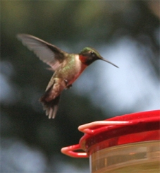 A male ruby-throated hummingbird hovers over a feeder