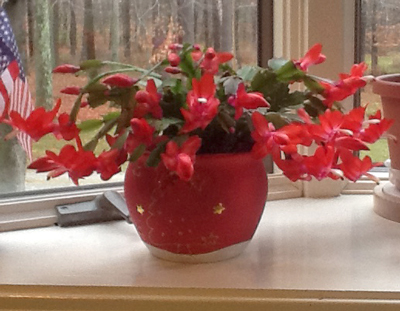 "A beautiful ""Christmas cactus"" blooms on my mom's windowsill in early November"