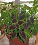 Coleus brought inside over the winter will brighten up your home.