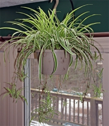 "Spider plants are great houseplants and efficient ""air cleaners"""