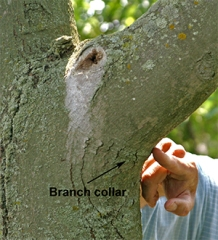 The natural branch collar contains cells that speed healing.
