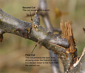 The first two cuts of the three-cut pruning method. The third cut will remove the remaining stub.