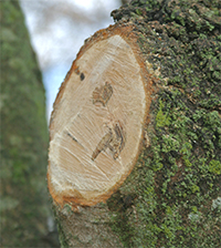 Proper pruning removes the branch just outside the branch collar.