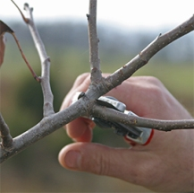 Always prune to an outward facing branch or bud.