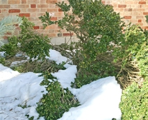 Boxwood nearly flattened by a heavy load of snow