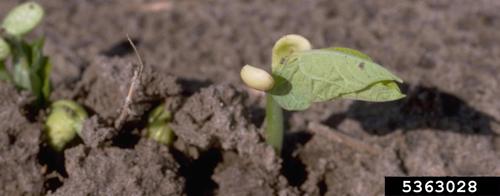 Emerging bean seedlings