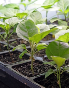Eggplant seedlings grow under lights until it is safe to plant in the garden