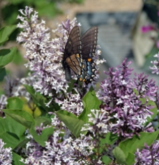 Lilac are another good indicator plant
