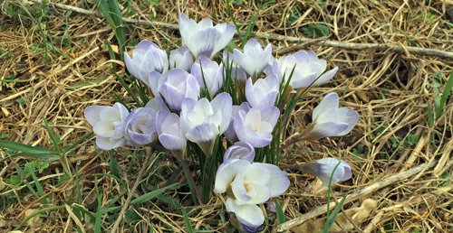 Crocus are blooming