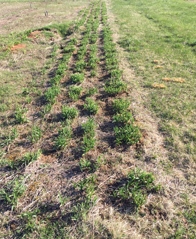 After 14 days. You can see where Bo edged this 5-row bed. The results are evident!