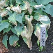 Hosta damaged from a late freeze can be cut back